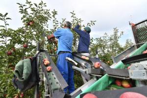 Two men picking apples