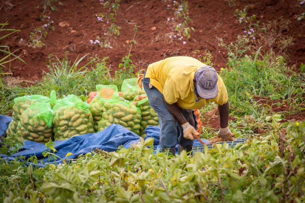 Worker In Field Harvesting Potatoes