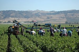 Workers Harvesting Peppers In Field